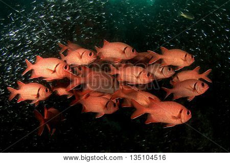 Fish school: Red Snappers
