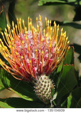 Protea, Kirstenbosch Botanical Gardens, Cape Town South Africa