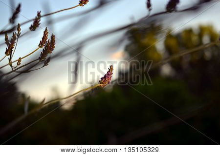 purple lavender blossoms in red evening sunlight