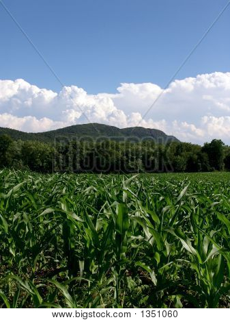 Young Corn Plants Massachusetts