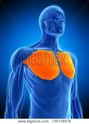 3d rendered, medically accurate illustration of the pectoralis major
