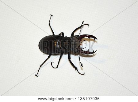 stag beetle close-up on a white background