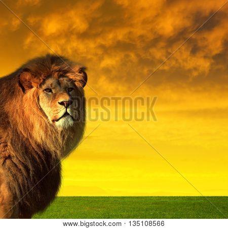Big male lion on the savannah at sunset.
