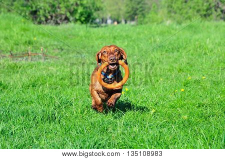 Dog breed standard smooth-haired dachshund, bright red color. Dog playing. Dog for a walk. The dog carries a rubber ring.
