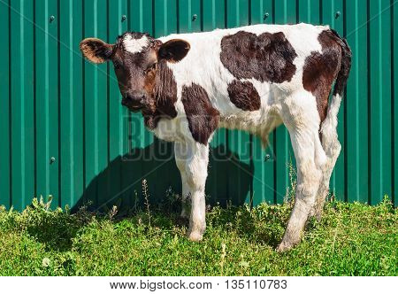 Young calf standing alone at fence background. Black and white baby cow