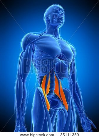 3d rendered, medically accurate illustration of the psoas major