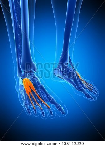 3d rendered, medically accurate illustration of the extensor digitorium brevis