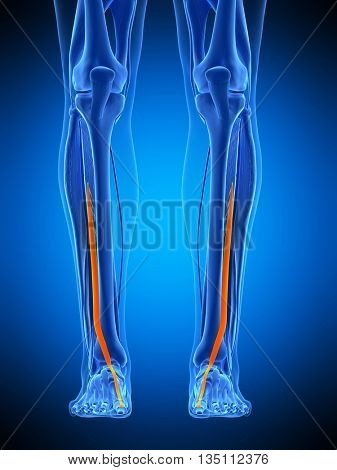 3d rendered, medically accurate illustration of the extensor hallucis longus