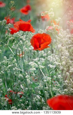 Wild red poppy flower and little white flowers in meadow