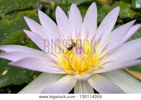 Lotus in Purple and One bee on pollen