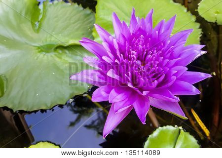 beautiful violet lotus flower lilly in pond