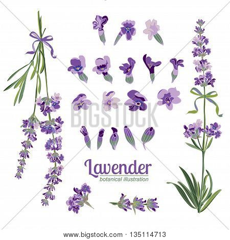 Set Lavender flowers elements. Botanical illustrations are drawn by hand