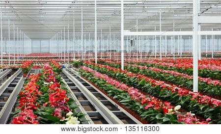 Anthurium flowering plant cultivation in a greenhouse
