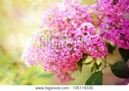 Lilac flower under the blue sky. Spring flowers background