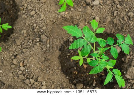young tomato plant in open ground top view