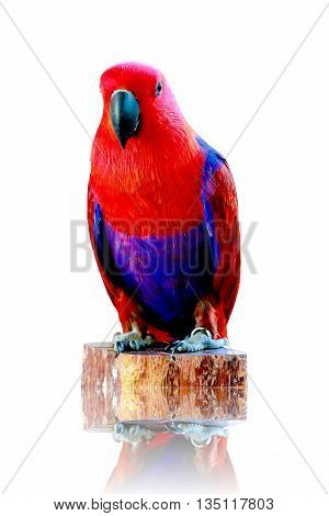 Red Parrot isolated on white background .