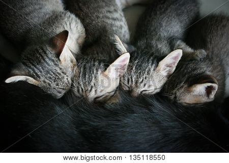 Four Adorable funny Cute Kitten cat suckle breast feeding milk time from mother, Happy family top view