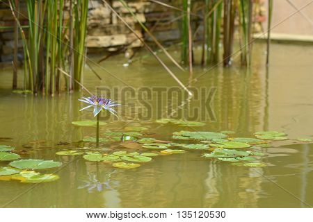Purple or blue lotus in the pond