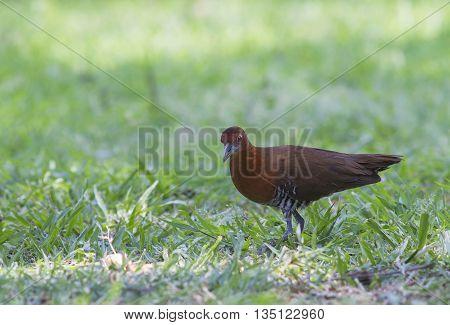Slaty legged Crake Walking on green grass