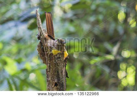 Female magpie bird breeding in the wild