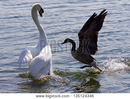 Amazing photo of the epic fight between the Canada goose and the swan