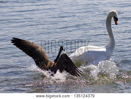 Amazing photo of the small Canada goose attacking the swan on the lake