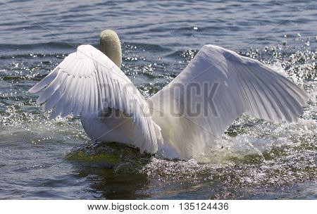 Beautiful isolated photo of the swan showing his power
