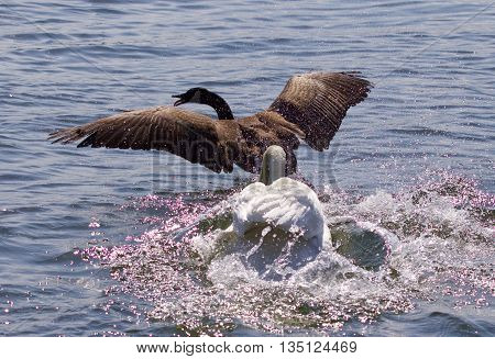 Amazing photo with the angry swan attacking the Canada goose