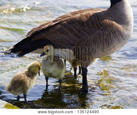 Beautiful isolated photo of the chicks of the Canada goose under defence of their mom