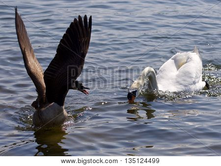 Beautiful isolated image of the Canada goose running away from the angry swan