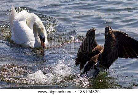 Picture of the swan chasing the Canada goose