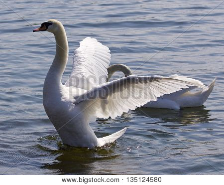 Beautiful isolated image with the swan showing his wings in the lake