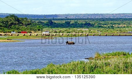 Elephant in a river in the Kruger National Park in South Africa, in the background hippos and elephants