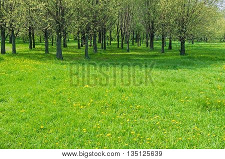 Glade with flowers of dandelions on the edge of woods in early spring