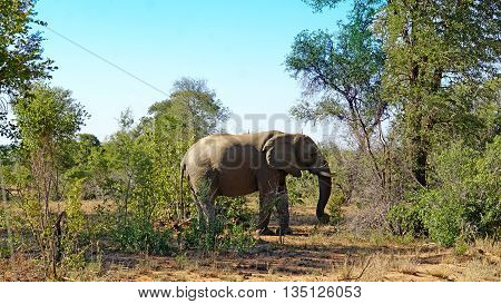 A bull elephant in Kruger National Park in South Africa