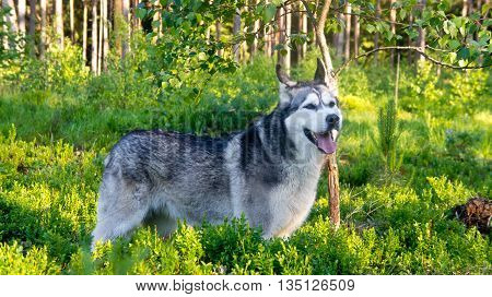 the dog breed a malamute, stands in the wood near a small tree, green bushes of bilberry and the wood on a background around, solar evening