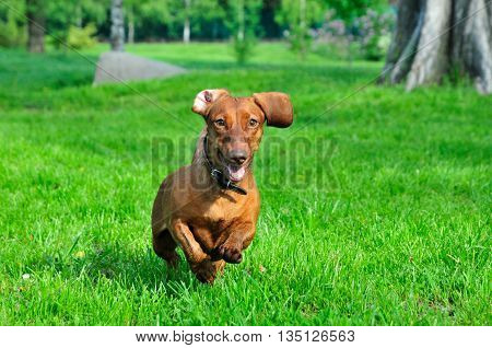 Dog breed standard smooth-haired dachshund, bright red color. Dog playing. Dog for a walk.