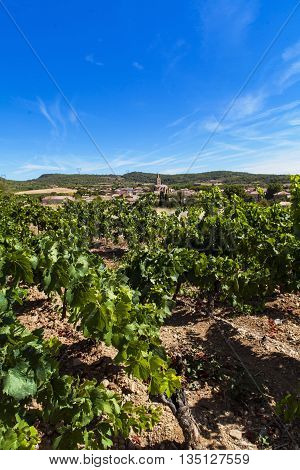 Wineyard in Town Cruzy in Languedoc-Roussillon province in Franc