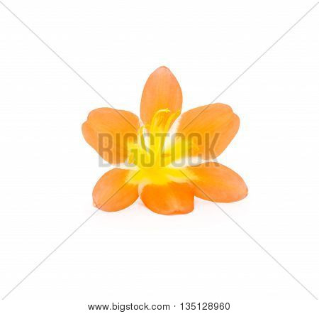 Flower from clivia amaryllis. Decor and equipment.