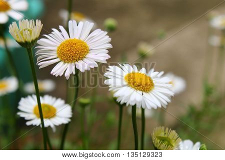 A trio of beautiful daisies in a garden