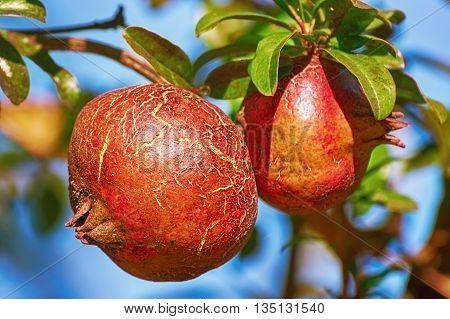 Fruit of Punica Granatum on the Tree