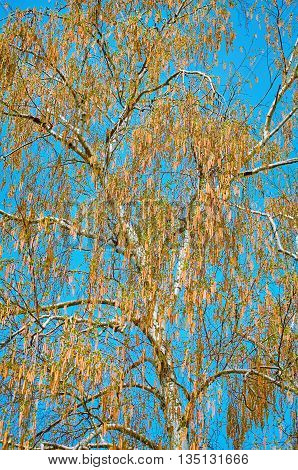 Birch Covered with Catkins in Spring against the Sky