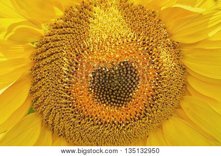 Blooming Sunflower with Center in the Heart Shape