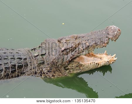 crocodile with open mouth in water close-up