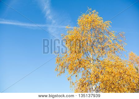 Yellowed Leaves Of Birch On A Background Blue Sky