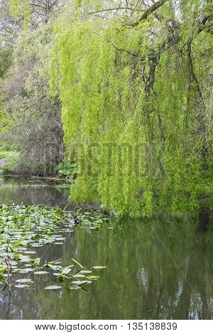 Beautiful Weeping Willow with its leaves and branches reflected in a pond