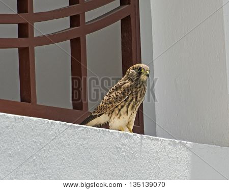 Common Kestrel Perched On A Building