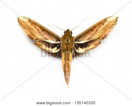 Sphingidae isolated on white background. Closeup view