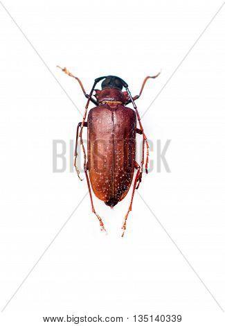 Longhorn Beetle Or Cerambycidae Isolated On White Background.