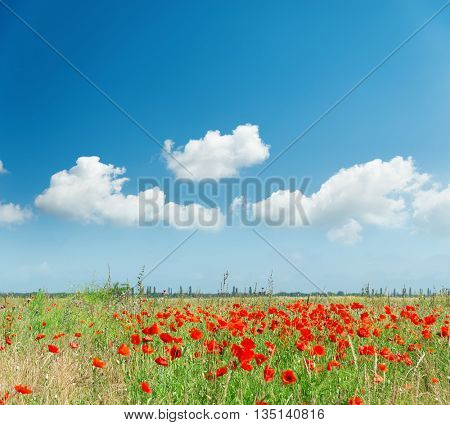 red poppies on field and white clouds in blue sky